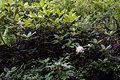 Rhododendron brachycarpum 13.jpg