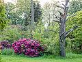 Rhododendron bush (14330246921).jpg