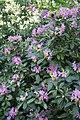 Rhododendron catawbiense in Minsk botanical garden.jpg