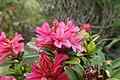 Rhododendron ferrugineum kz03.jpg