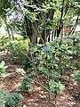 Rhododendron irroratum - Kunming Botanical Garden - DSC02849.JPG