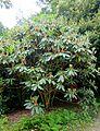 Rhododendron sinogrande hybrid - Trewidden Garden - Cornwall, England - DSC02358.jpg