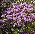 Rhododendron tatsienense 1.jpg