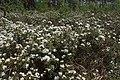Rhododendron tomentosum kz14.jpg