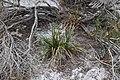 Rhynchospora megalocarpa (Sandyfield Beaksedge) 2.jpg
