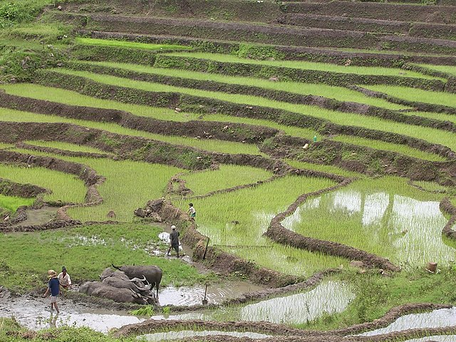 Water Buffalo and Rice Terraces in Timor-Leste