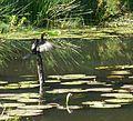 Rietkormorant, Iphithi Natuurreservaat.jpg
