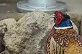 Ring-necked Pheasant (Lahore Zoo) by Damn Cruze.jpg