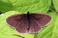 Ringlet butterfly (Aphantopus hyperantus) 1 spot.jpg