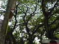 Road side big tree's at jhenaidah - 1.jpg