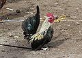 Rooster in Otavalo 01.jpg