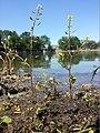 Rorippa palustris sl9.jpg