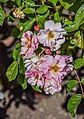 Rosa 'Cornelia' in Dunedin Botanic Garden 03.jpg
