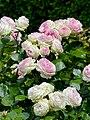 Rosa 'Eden 85' Rosengarten Köln 2017 06.jpg