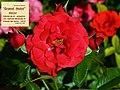 """Rosa """"Grand Hotel"""" o MACtel. 01.jpg"""
