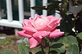 Rosa Pink Double Knock Out 1zz.jpg
