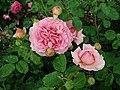 Rosa Princess Alexandra of Kent 2019-06-07 1318.jpg