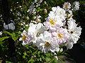 Rosa Sanders White Rambler1b.UME.jpg