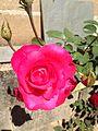Rosa em Dia de Sol.JPG