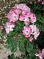 Rosa majalis inflorescence (10).jpg