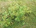 Rosa majalis plant (02).jpg