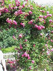 Rosa sp.23.jpg