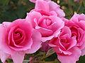 Rose,Country Dancer,バラ,カントリー ダンサー, (8166857566).jpg