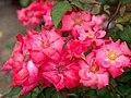 Rose, Christine Gandy, バラ, クリスティーン ガンディ, (15316917254).jpg