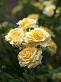 Rose, Christmas Bell, バラ, クリスマス ベル, (12530544353).jpg