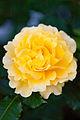 Rose, Cl. Gold Bunny - Flickr - nekonomania.jpg