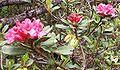 Rostblättrige Alpenrose.jpg
