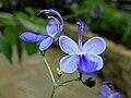 Rotheca myricoides Blue Butterfly Bush.jpg