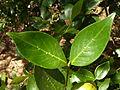 Rothmannia capensis, blare met domatia, Faerie Glen NR.jpg