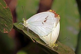 <i>Nepheronia pharis</i> Species of butterfly