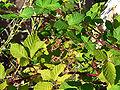 Rubus discolor 2.jpg