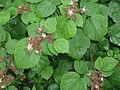 Rubus phoenicolasius 5449874.jpg