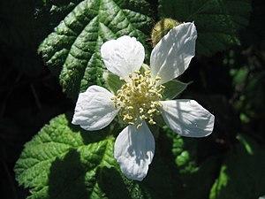 Rubus ursinus - Rubus ursinus flower.