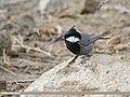 Rufous-naped Tit (Periparus rufonuchalis) (48553205676).jpg