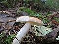 Russula bicolor 820059.jpg