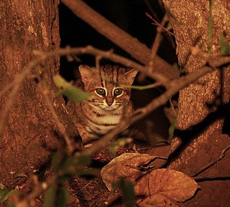 Rusty-spotted cat in its natural habitat Rusty spotted cat 2, crop.jpg
