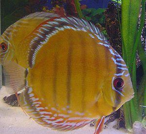 Diskusfische wikipedia for Pesce discus