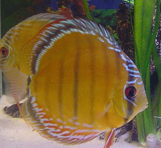 Symphysodon aequifasciatus - Blue discus (above) and brown discus (below)