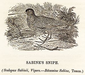 Nicholas Aylward Vigors - Image: Sabine's Snipe woodcut Bewick's British Birds 1847