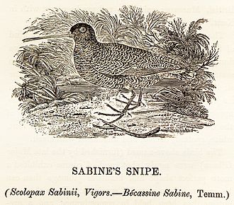 "Nicholas Aylward Vigors - Vigors described the ""Sabine's snipe"", shown here in a woodcut from Bewick's British Birds, in 1825."