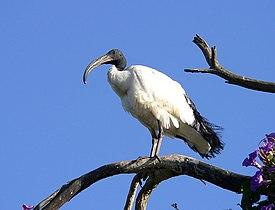 Sacred ibis.jpg