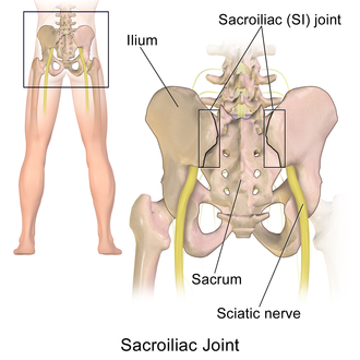 Sacroiliac joint - Sacroiliac joint of the male pelvis, posterior view