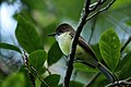 Sad flycatcher (Myiarchus barbirostris).jpg