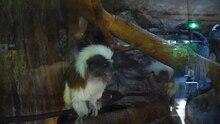 File:Saguinus oedipus - ueno zoo 2010.ogv