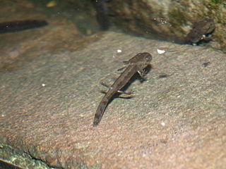 Salamandra škvrnitá - larva