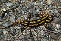 Salamandra salamandra 03 by-dpc.jpg